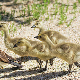 Canada Goslings 7514-041819 by Tam Ryan