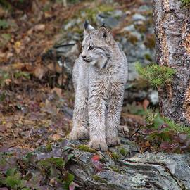 Teresa Wilson - Canada Lynx Kitten 7524 by TL Wilson Photography