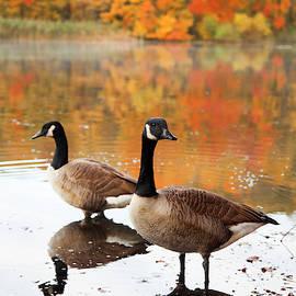 Canadian Geese Enjoying Autumn by Karol Livote