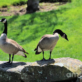 Canadian Geese Of The Presidio by Diann Fisher
