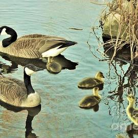 Canadian Goose Family At Riverside    Image 2       April              Indiana by Rory Cubel