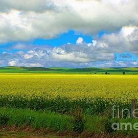 Canola field by Graham Buffinton
