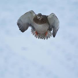 Canonball- Female Mallard Duck by David Porteus