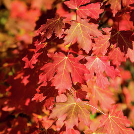 Canyon Maple Leaves by Michael Chatt