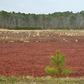 Cape Cod Cranberry Bog by Luke Moore