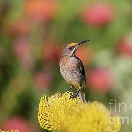 Cape Sugarbird on Protea by Eva Lechner