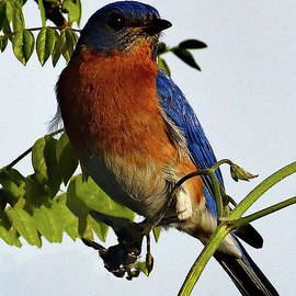 Captivating Beauty Of An Eastern Bluebird by Cindy Treger