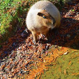 Capybara - Cape May Zoo by Robyn King