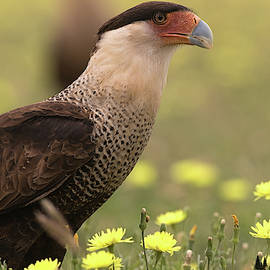 Caracara in WIldflowers by David Cutts