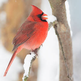 Jack Nevitt - Cardinal in the snow
