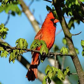 Cardinal by Mary Ann Artz