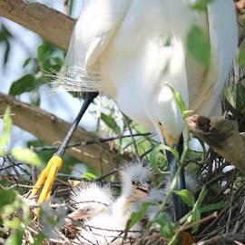 Careful Egret Mom with Chicks by Carol Groenen