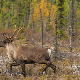 Caribou by Brenda Jacobs