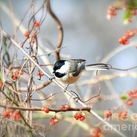 Carolina Chickadee - Bird in the Berries by Kerri Farley