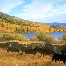 Cattle Drive Round Up 2 by Donna Kennedy
