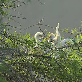 Cattle Egrests by Hatsofe B