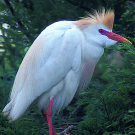 Cattle Egret Standing by Jerry Griffin