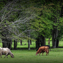 Cattle Grazing in a Pasture by Randall Nyhof
