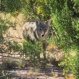 Cautious Coyote by Judy Kennedy