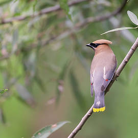 Cedar Waxwing 2019-1 by Thomas Young
