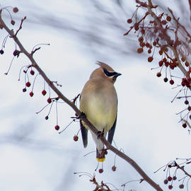 Cedar Waxwing  by Betty Pauwels