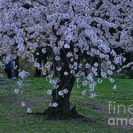 Central Park in Spring - Lavender at Twilight - Cherry Blossoms by Miriam Danar