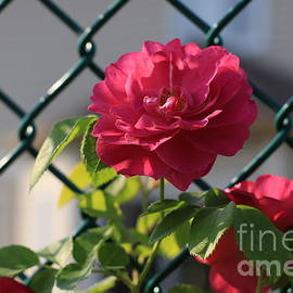 Chain link fence with roses by Tatiana Travelways