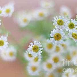 Chamomile Flowers by Hanna Tor