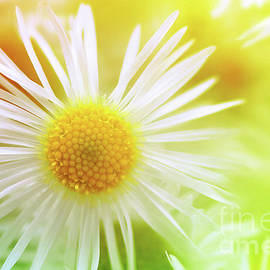 Chamomiles daisy flower by Gregory DUBUS