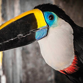 Channel Billed Toucan, Peru by Venetia Featherstone-Witty