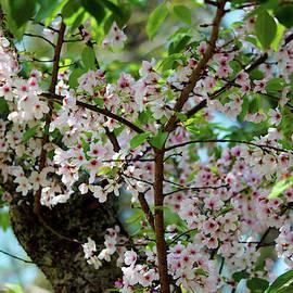 Cherry Blossom In The Spring by Cynthia Guinn