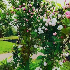Cherry Blossom in Watercolor 2 by Loretta S