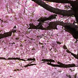 Cherry Blossom Trees by Nicklas Gustafsson