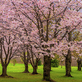 Cherry Blossoms 2 by Steve Harrington