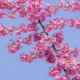 Cherry Blossoms by Marv Vandehey