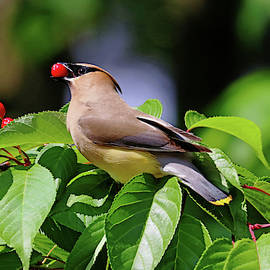 Cherry Picking by Debbie Oppermann