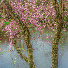 Cherry Trees Blue Water