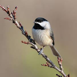Lara Ellis - Chickadee Hint of Spring