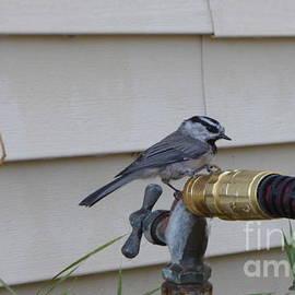 Chickadee On A Spigot by Charles Robinson