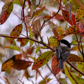 Chickadee surrounded by Autumn by Judit Dombovari