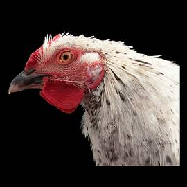 Chicken Head 2 by Jean Noren