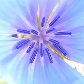 Chicory 2 by Cheryl Ellis