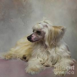 Chinese Crested Dog Powderpuff-2 by Eva Lechner