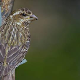 Chow Down - Female Purple Finch - Haemorhous purpureus by Spencer Bush
