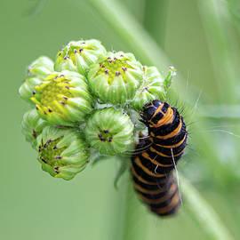Cinnabar Moth Caterpillar On Common Ragwort by Scott Lyons
