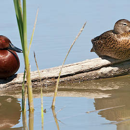 Michael Trewet - Cinnamon Teal male and female 6398  Anus cyanoptera