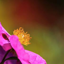 Cistus Rock Rose  by Robert Potts
