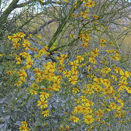 Clambering Brittlebush by Bonnie See