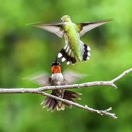 Clash Of The Ruby-throated Hummingbirds by Cindy Treger