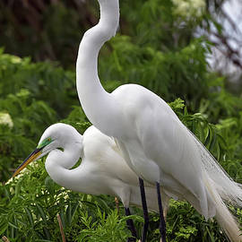 Classic Breeding Pair, Great Egrets by Banyan Ranch Studios